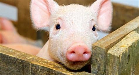 oie(世界动物卫生组织)把非洲猪瘟的潜伏期定义为15天,急性病例潜伏期